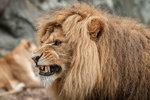 Argt lejon