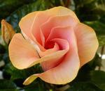 Hibiscus rosa-sinensis 'Adonicus'