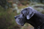 Astor the great dane