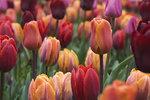 tulips…