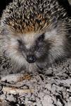 Pigge the Hedgehog