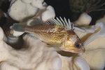 Juvenil Quillback rockfish (Sebastes maliger)