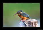 Common Kingfisher (kungsfiskare)