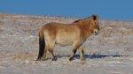 Thaki, Hustai National Park, Mongolia