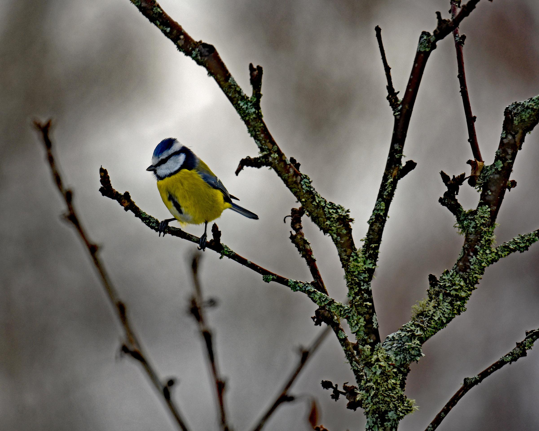 DSC_3077 En Blåmes satt på en gren i Äppelträdet och funderade
