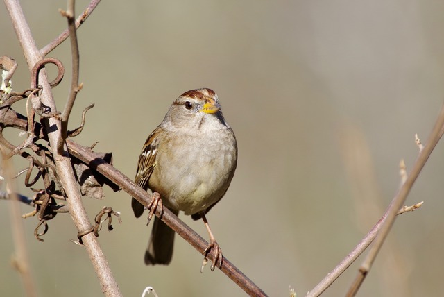White-crowned Sparrow (1:st winter)