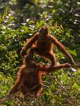 Orangutangungars lek i träden