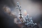 Vinterljung