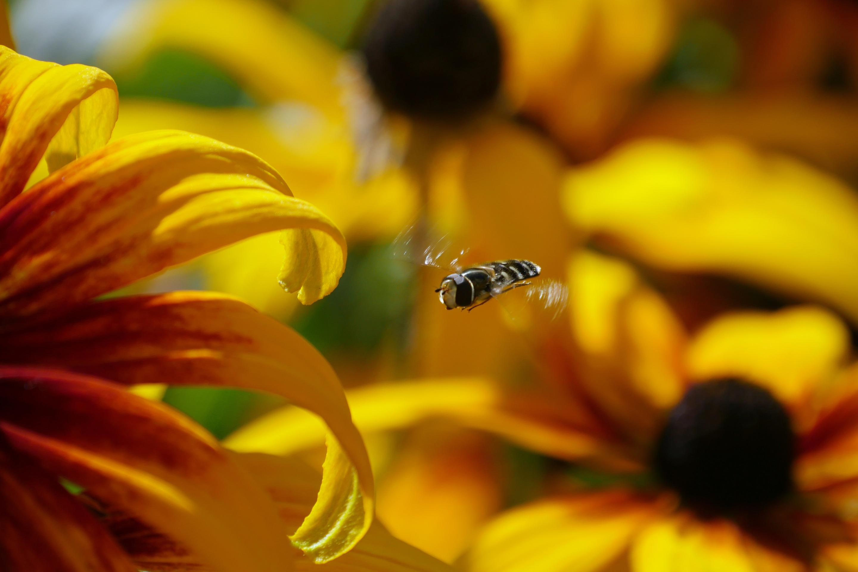 P1020206 En blomfluga bland Rudbeckior
