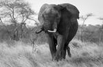 Elefant i Masai Mara