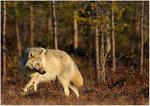 Finska vargen igen