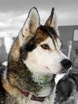 Polarhund redigerad