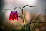 Liljan i dalen