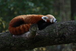 röd panda