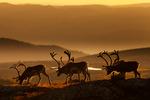 Reindsyr i soloppgang.