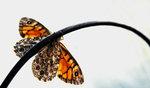 Fjäril på båge