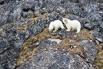 Isbjörnsungar