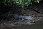 Krokodil i Singapore