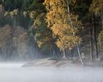 Höstbjörk i dimman
