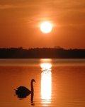Svan i solnedgång