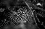 Leopard i buske
