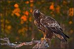 Örnen 1