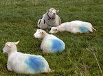 Blått-fåren har talat