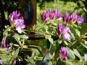 Rhododendronknoppar_i_mitt_bostadsområde_Näsbydal_2_6_2019.jpg