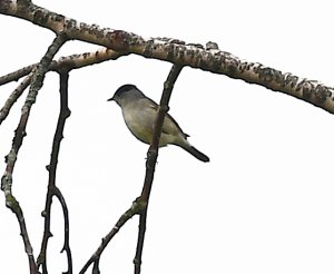 Småfågel 1.jpg