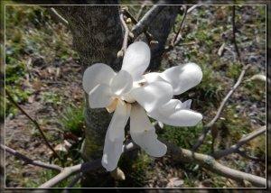 Magnolian_16_4_2020.jpg