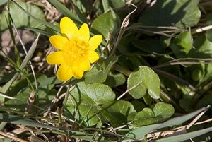 gul blomma lilla dalen 070408.jpg