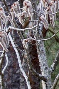 träd flottsbroskogen 070408bx.jpg